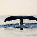 Humpback Whale Fluke by M Sweet