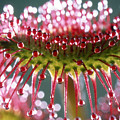Leaf Of Sundew by Nuridsany et Perennou and Photo Researchers