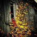 Leaves On An Old Barn by Joyce Kimble Smith