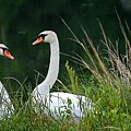 Loving Swans by Clayton Bruster