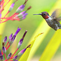 Male Anna's Hummingbird by Mike Herdering