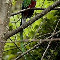 Male Resplendent Quetzal by Roy Toft