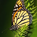 Monarch Butterfly by The Photography Factory