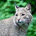 Oregon Bobcat by Nick Gustafson