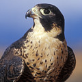Peregrine Falcon by Sandra Bronstein