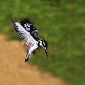 Pied Kingfisher by Tony Beck