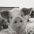Portrait Of A Young Pig. Property by Joel Sartore