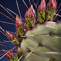 Prickly Buds by Kelley King