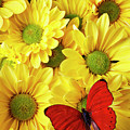 Red Butterfly On Yellow Mums by Garry Gay