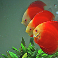 Red Fish by Vietnam
