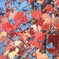 Red Maples by - Harlan