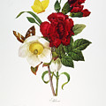 Redoute: Hellebore, 1833 by Granger
