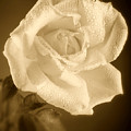 Sepia Rose With Rain Drops by M K  Miller