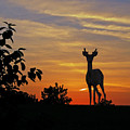 Small Buck Against Sunset by Ron Kruger