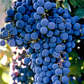 Sonoma Grapes by Bart Edson