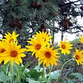 Sunflowers And Pine Cones by Will Borden