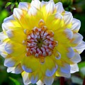 Sunshine Dahlia by Karen Wiles