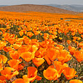 The Poppy Fields - Antelope Valley by Peter Tellone