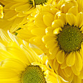 Three Yellow Daisies  by Garry Gay