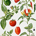 Tomatoes And Related Vegetables by Elizabeth Rice