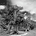 Twisted Old Bristlecone Pine Above Crater Lake - Oregon by Christine Till