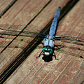 Violet Dancer On A Great Blue Skimmer by Susan Isakson