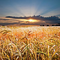 Wheat At Sunset by Meirion Matthias