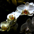 White Orchid With Dark Background by Jasna Buncic