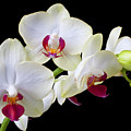 White Orchids by Garry Gay