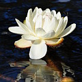 White Water Lily by Andrea Everhard
