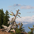 Whitebark Pine At Crater Lake's Rim - Oregon by Christine Till