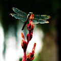 Wornout Dragonfly by Susie Weaver