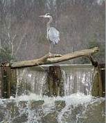 Exceptional Heron Photographs   many views and numerous positive comments required