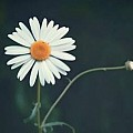Classic Daisy --- Only white with yellow middle type