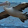 The World of Pelicans
