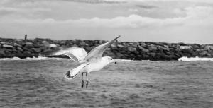 Seagull Wings Out Low Flying Black And White Beach Art