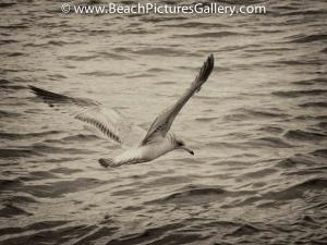 Seagull Looking For Dinner - Black White Beach Picture Pictures Photos Print Prints Image Images Photo Pic Pics Photography Seagulls Gulls  Gull Sea Gull BlackandWhite BlackWhite Seascape Landscape Oc
