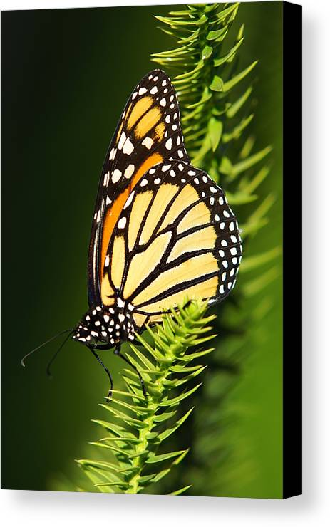 Vertical Canvas Print featuring the photograph Monarch Butterfly by The Photography Factory