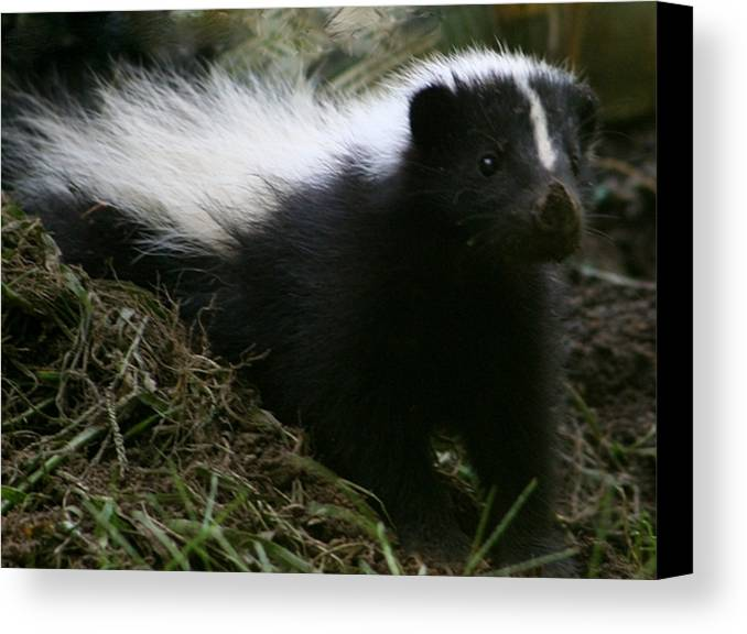 Skunk Canvas Print featuring the photograph Here Kitty Kitty by Barbara S Nickerson