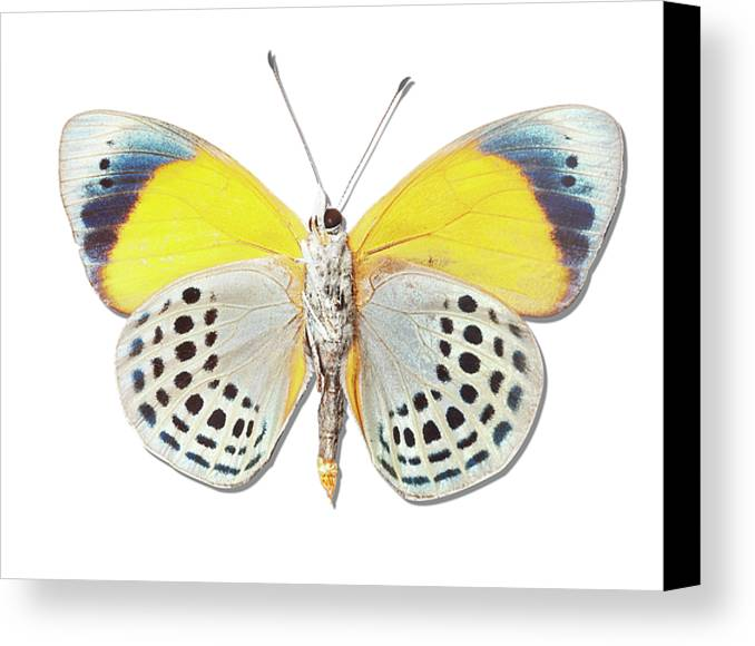 Horizontal Canvas Print featuring the photograph Underside Of Brush-footed Butterfly Of Peru by MajchrzakMorel