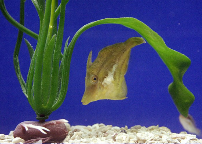Canthigaster Rostrata Greeting Card featuring the photograph Sharpnose Puffer Fish by Chris Martin-bahr