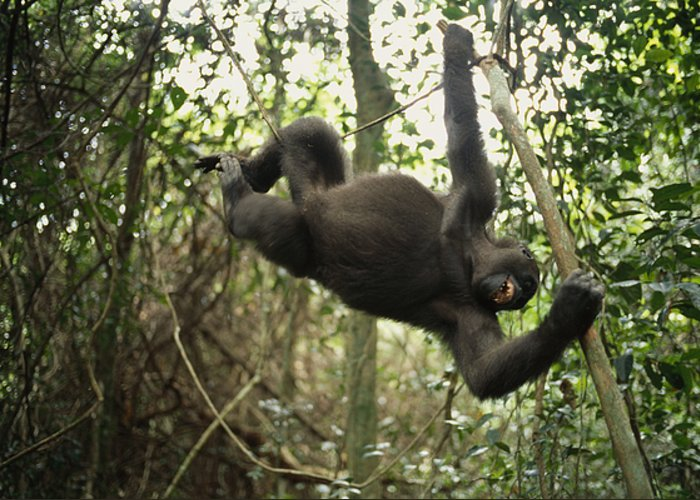 Plateaux Bateke National Park Greeting Card featuring the photograph A Gorilla Swinging From A Vine by Michael Nichols
