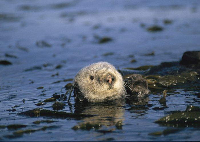 North America Greeting Card featuring the photograph A Sea Otter Floats In A Tangle Of Kelp by Paul Nicklen