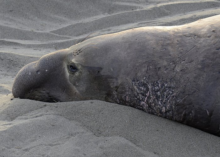 California Greeting Card featuring the photograph Elephant Seal 5 by Bob Christopher