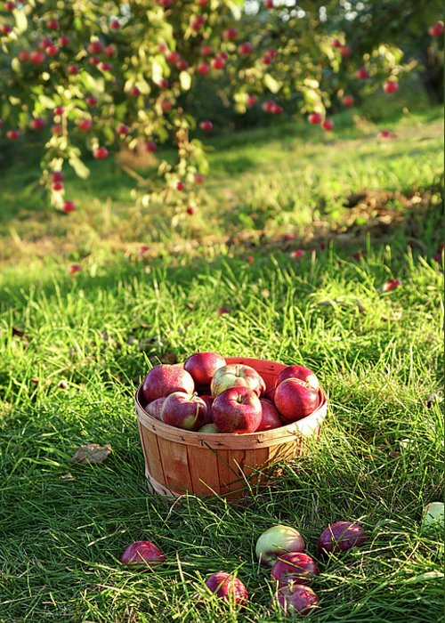 Agricultural Greeting Card featuring the photograph Freshly Picked Apples In The Orchard by Sandra Cunningham