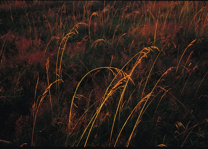 North America Greeting Card featuring the photograph Grasses Glow Golden In Evenings Light by Raymond Gehman
