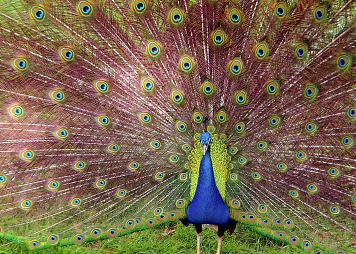 Animal Greeting Card featuring the photograph Peacock by Carlos Caetano