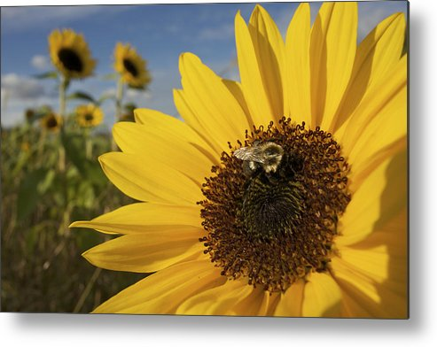Concord Metal Print featuring the photograph A Honey Bee Visiting A Sunflower by Tim Laman