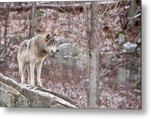 Michael Cummings Metal Print featuring the photograph Timber Wolf On Rocks by Michael Cummings