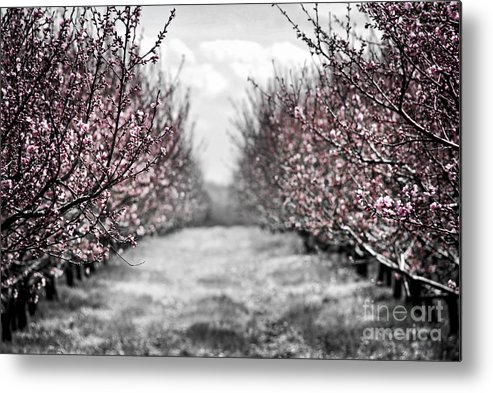 Peach Metal Print featuring the photograph Blooming Peach Orchard by Elena Elisseeva